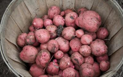 Potato Harvest at Mount Vernon