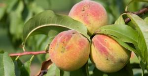 Peaches at Mount Vernon