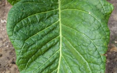 A Tobacco Leaf