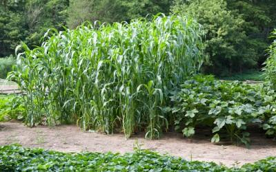 Corn growing at the Farm