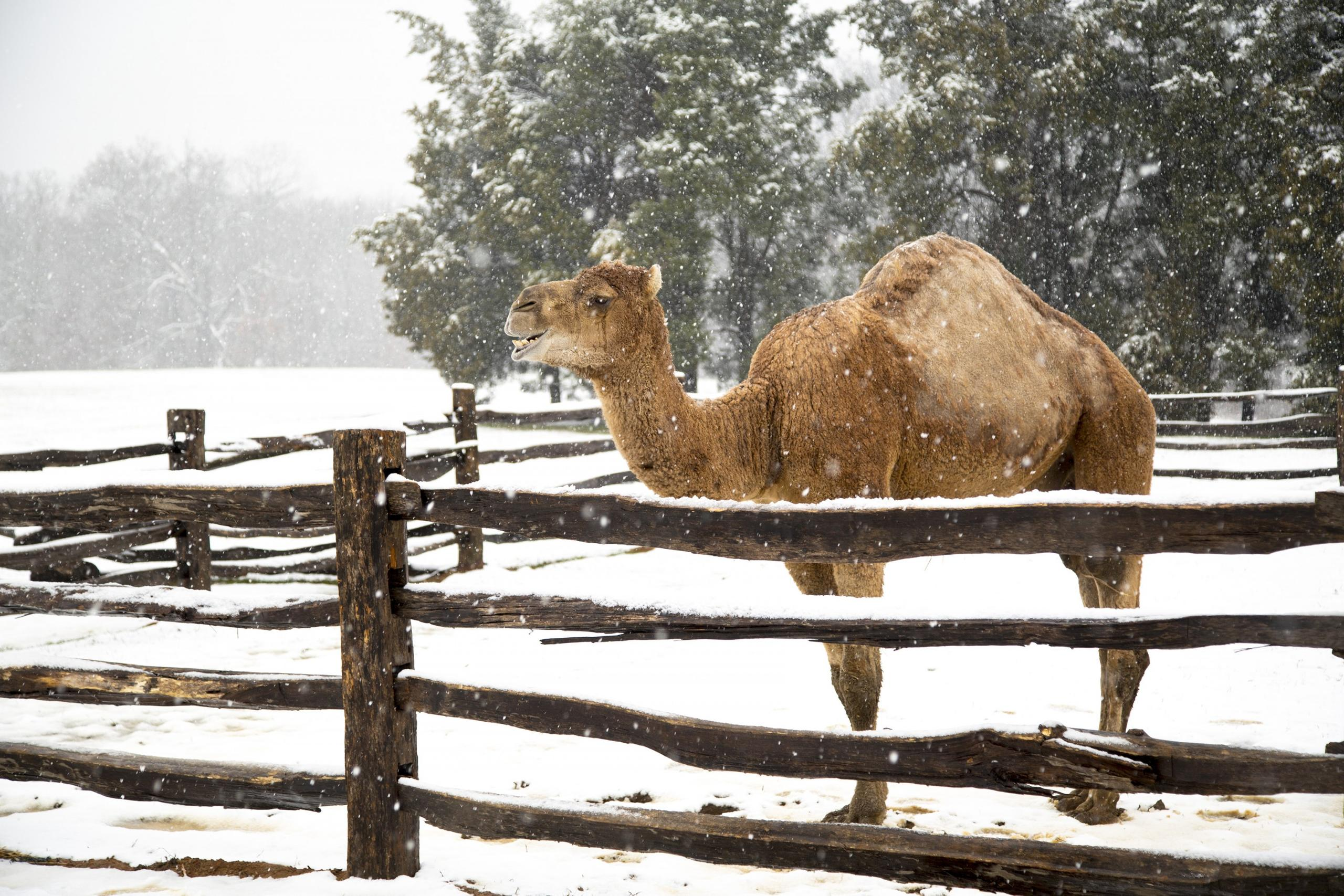 Aladdin the camel, part of Chirstmas at Mount Vernon. MVLA.