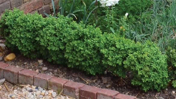 Detail of boxwoods in the upper garden.