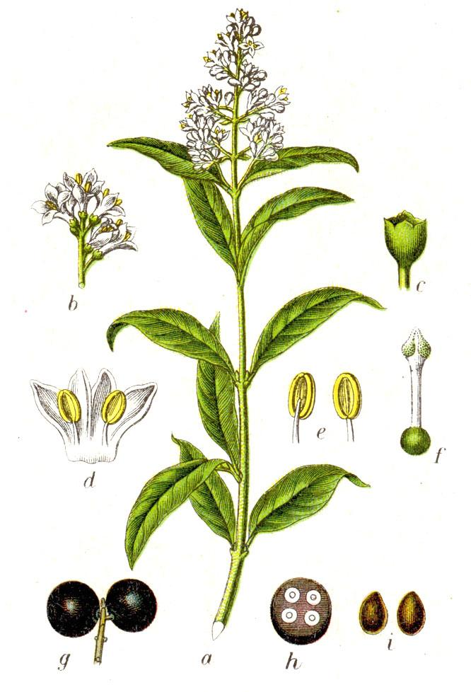 Figure from Deutschlands Flora in Abbildungen, c.1796 (Wikimedia)