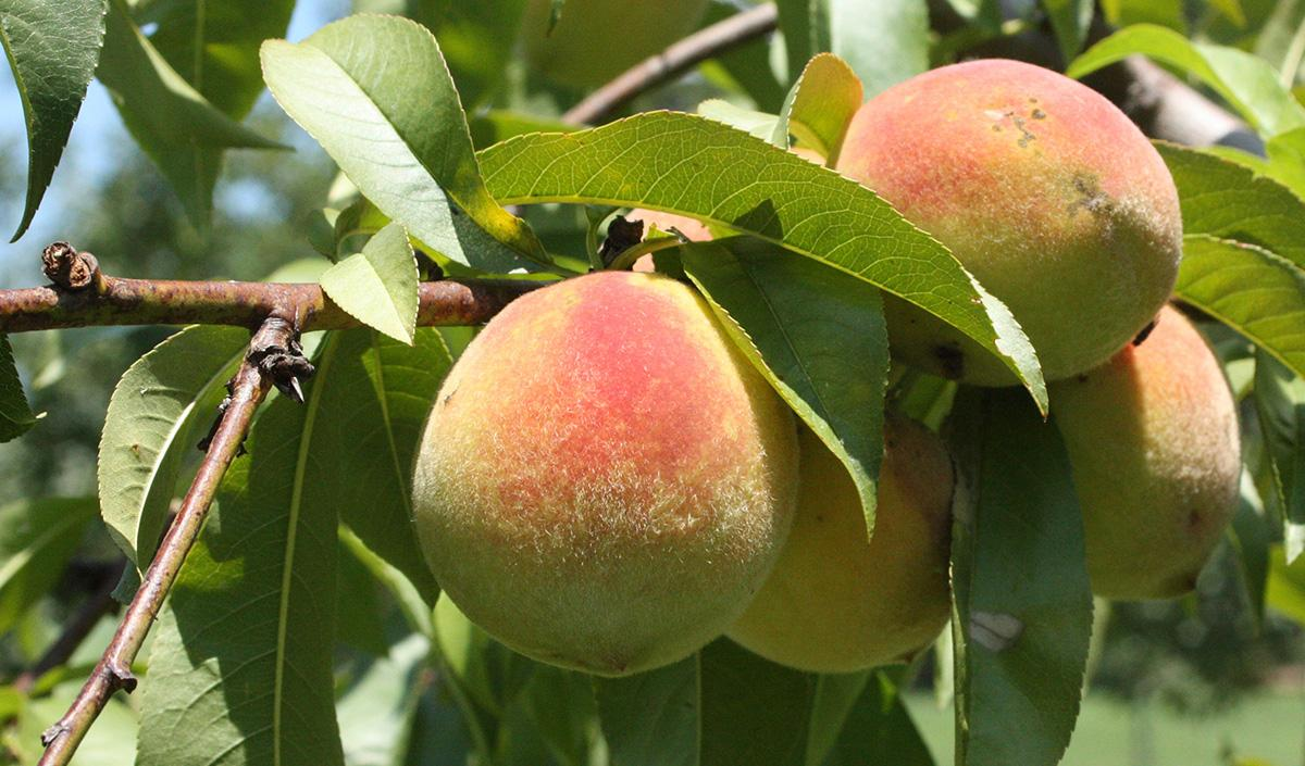 His 28th birthday, February 22, 1760, found him busily laying a fence around his peach orchard.