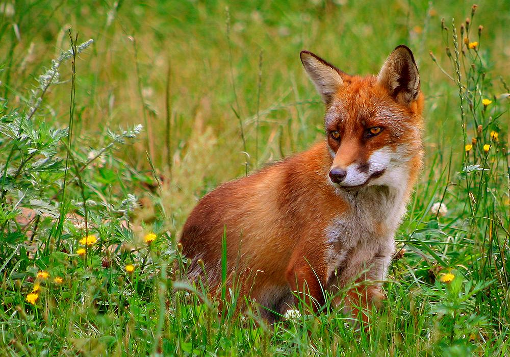 The red fox (Vulpes vulpes) is the normal prey animal of a fox hunt in the U.S. and Europe. (Wikimedia)