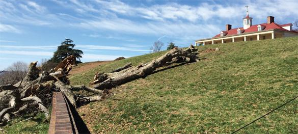 "In March 2014, the declining ""swamp chestnut"" oak collapsed ahead of plans for removal in 2015. Although not part of George Washington's landscape design, this tree had been a staple of the Mount Vernon landscape for over two centuries."